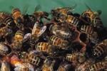 """C'est ainsi que les abeilles japonaises """"cuisent"""" à leur principal prédateur, le Frelon asiatique géant"""
